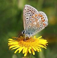 Common blue butterfly (Polyommatus icarus) male underside.jpg