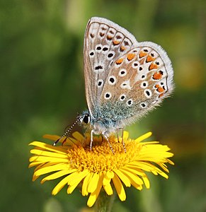 Common blue butterfly (Polyommatus icarus) male