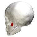 Condyloid process - lateral view3.png