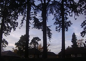 West Byfleet - Evergreen trees such as pines are supported by the sandy soil of Parvis Road in the west, an uneroded upcrop of the Bagshot Formation