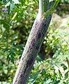 Conium maculatum stem (10).jpg