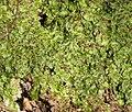 Conocephalum conicum 251207.jpg