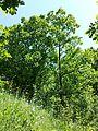 Conringia austriaca sl2.jpg