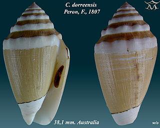 <i>Conus dorreensis</i> species of mollusc
