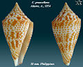 Conus praecellens 1.jpg