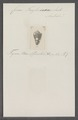 Conus taylorianus - - Print - Iconographia Zoologica - Special Collections University of Amsterdam - UBAINV0274 086 06 0027.tif