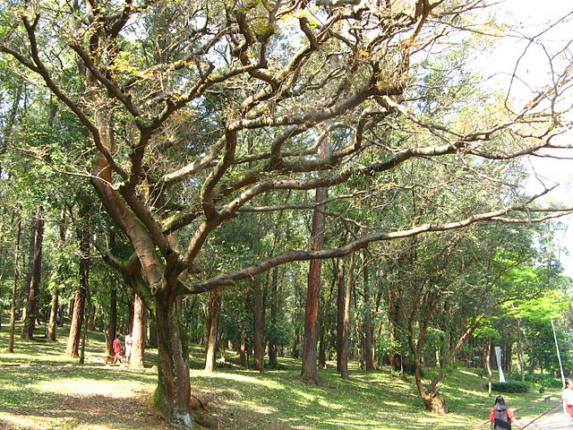 *Copaifera langsdorffii* in a park in São Paulo Brazil.