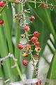 Cordyline fruit (6811144702).jpg