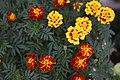 Coreopsis flower.jpg