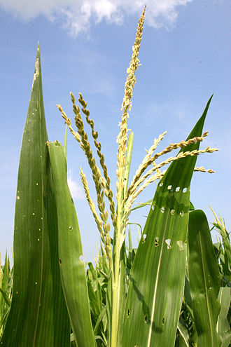Maize - Many small male flowers make up the male inflorescence, called the tassel.