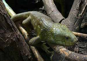 Solomon Islands skink - Image: Corucia zebrata (2)