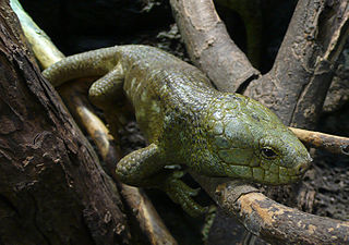 Solomon Island Skink on a branch
