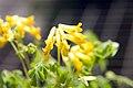 Corydalis lutea 9zz.jpg