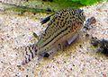 Corydoras trilineatus2.jpg