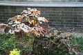 Corylus avellana Red Majestic 0zz.jpg