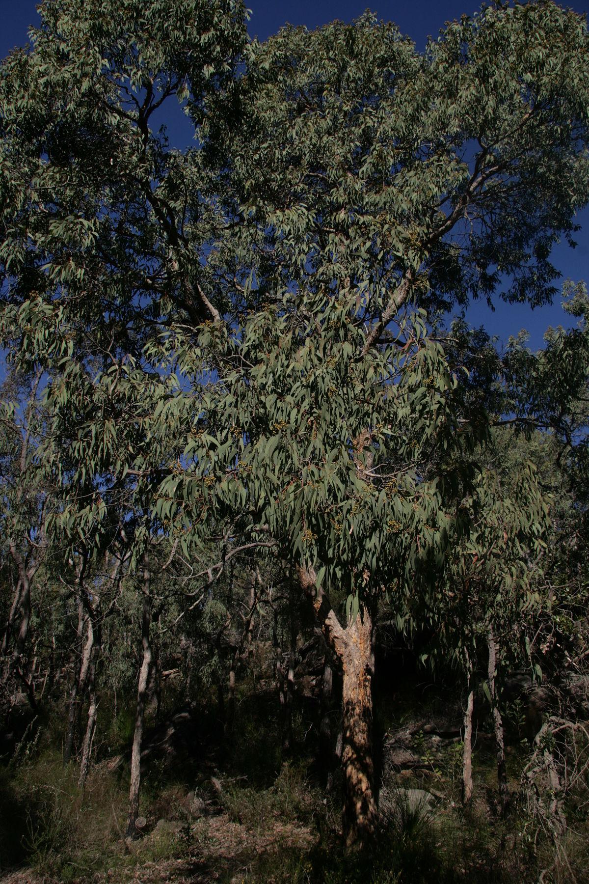 Corymbia eximia - Wikipedia