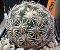 Coryphantha radians 2e.jpg
