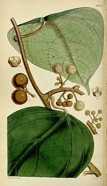 Coscinium fenestratum.jpg
