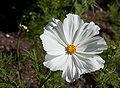 """Cosmos bipinnatus """"Sonata White"""".jpg"""