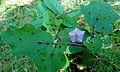 Costa Rica Nightshade (Solanum wendlandii) at Kambalakonda 03.JPG