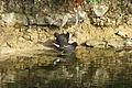 Couple d'oiseau Canal de la Rochelle.jpg