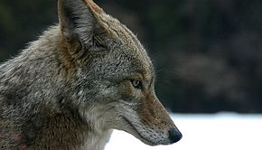 Coiot (Canis latrans)