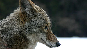 Coyote, head right profile