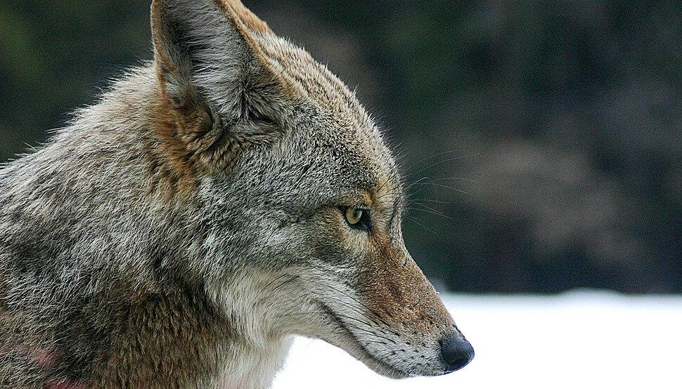 Coyote portrait