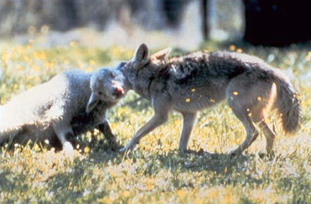 Coyote with a typical throat hold on a domestic sheep Coyote with typical hold on lamb.jpg