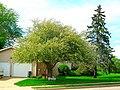 Crabapple Tree on Church Street - panoramio.jpg