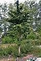 Crataegus monogyna water sprouts (01).jpg