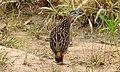 Crested Francolin (Dendroperdix sephaena) (6022521908).jpg