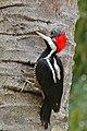Crimson-crested Woodpecker (Campephilus melanoleucus) female (28887801322).jpg