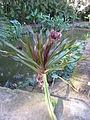 Crinum asiaticum - Jardin d'Éden.JPG