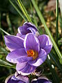 Crocus minimus close-up.JPG