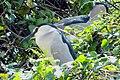 Crowned Night Heron (9351398546).jpg