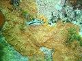 Crowned nudibranch at Roman Rock DSC09986.JPG