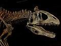 Cryolophosaurus ellioti, cast of head, ROM.jpg