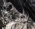 Cryptanthus leopoldo-horstii — João de Deus Medeiros 001.jpg