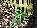 Cuckoo Pint leaves - geograph.org.uk - 367497.jpg