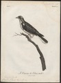 Cuculus klaasii - 1796-1808 - Print - Iconographia Zoologica - Special Collections University of Amsterdam - UBA01 IZ18800245.tif