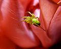 Cucumber Green Spider, Aaignée courge, Araniella cucurbitina, Lille, France, Lamiot 06.JPG