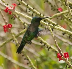 Curacao 2011 - Blue-tailed emerald crop.jpg