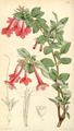 Curtis's Botanical Magazine, Plate 4316 (Volume 73, 1847).png