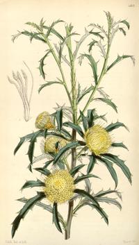 Curtis's Botanical Magazine, Plate 4317 (Volume 73, 1847).png