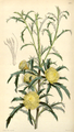 Curtis's Botanical Magazine, Plate 4317 (Volume 73, 1847).png