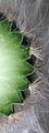 Cut Cereus revised.jpg