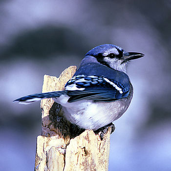 English: Blue Jay (Cyanocitta cristata) – DeSo...