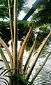 Cyathea robusta.jpg