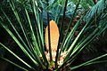 Cycas circinalis mâle cône.JPG